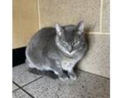 Adopt Molly *Bonded Pair* a Gray or Blue Domestic Shorthair / Domestic Shorthair