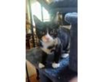 Adopt Amara a Calico or Dilute Calico Domestic Shorthair cat in Boulder