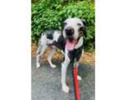 Adopt Bearon a White - with Black Great Dane / Mixed dog in Alpharetta