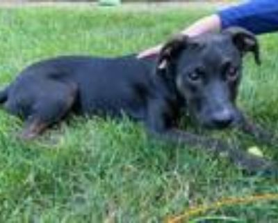 Adopt Gracie a Boxer, Pit Bull Terrier