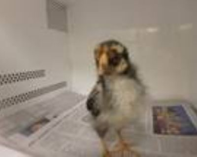 Adopt HEIHEI a Chicken