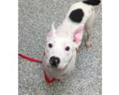 Adopt Roxy a American Pit Bull Terrier / Mixed dog in Golden, CO (32121983)