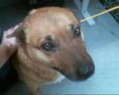 Adopt COFFEE a Australian Cattle Dog / Blue Heeler, Mixed Breed