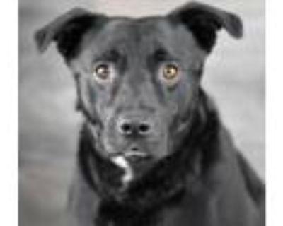 Adopt Jet a Labrador Retriever, Mixed Breed
