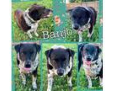 Adopt Banjo a Black Border Collie / Mixed dog in El Dorado, KS (31513126)