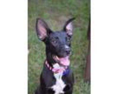 Adopt Fiona a Black - with White Labrador Retriever / Shepherd (Unknown Type) /