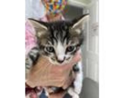Adopt SVB Mr Wiggins PR #2 - Oz a Domestic Shorthair / Mixed (short coat) cat in