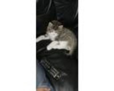 Adopt Tiger a Spotted Tabby/Leopard Spotted American Curl / Mixed (short coat)