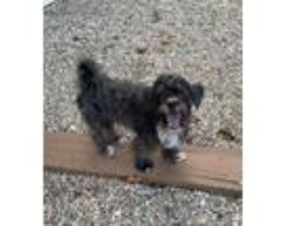 Adopt Pulif a Gray/Silver/Salt & Pepper - with White Terrier (Unknown Type