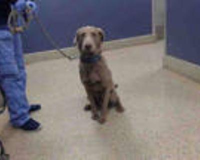 Adopt JAX a Gray/Blue/Silver/Salt & Pepper Weimaraner / Mixed dog in Doral