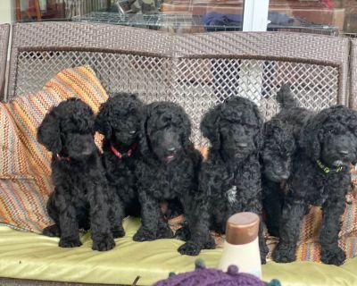 Black Standard Poodle Puppies SWFL
