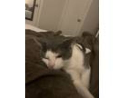 Adopt Mochi a Gray or Blue (Mostly) American Curl / Mixed (short coat) cat in