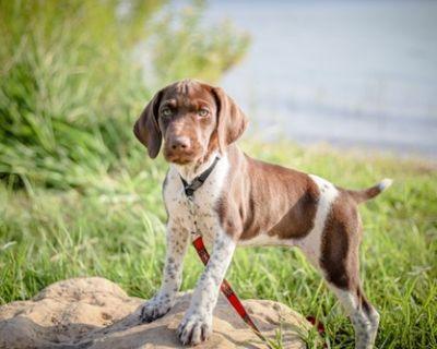 German Shorthaired Pointer Puppy for Sale - Gunter Akc