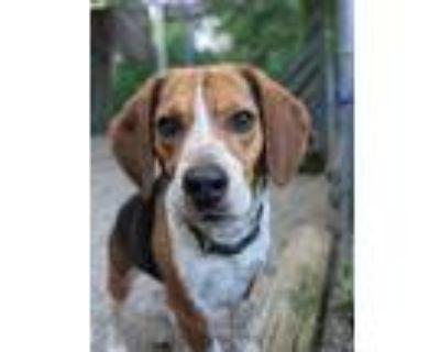 Adopt Triton a Beagle