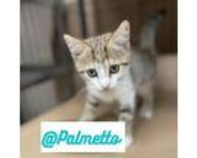 Adopt STARS a Brown Tabby Domestic Shorthair / Mixed (short coat) cat in