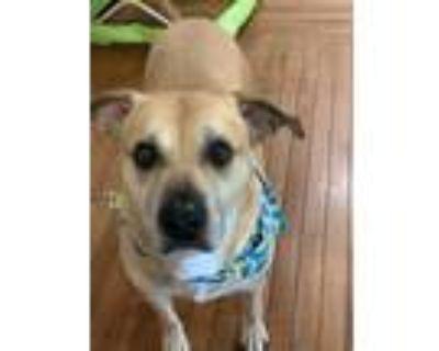 Adopt Thunder a Tan/Yellow/Fawn Boxer / Mixed dog in Floyds Knobs, IN (31582603)