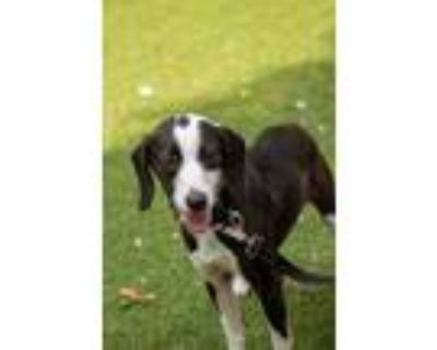 Adopt Vespa a Black Hound (Unknown Type) / Mixed dog in West Chester
