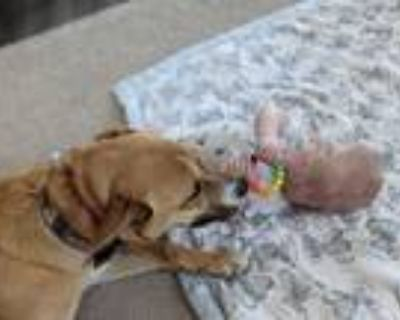 Adopt J ger a Tan/Yellow/Fawn - with Black Husky / German Shepherd Dog / Mixed