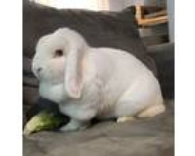 Adopt Reno a White Other/Unknown / Mixed (short coat) rabbit in Woburn