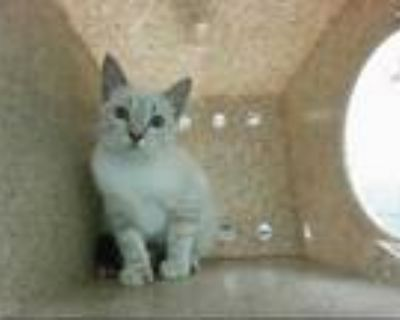 Adopt PEEKA BOO a Brown or Chocolate (Mostly) Siamese / Mixed (short coat) cat