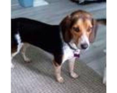 Adopt Trouble a Beagle