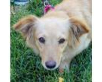 Adopt Summer a Tan/Yellow/Fawn Spaniel (Unknown Type) / Dachshund / Mixed dog in