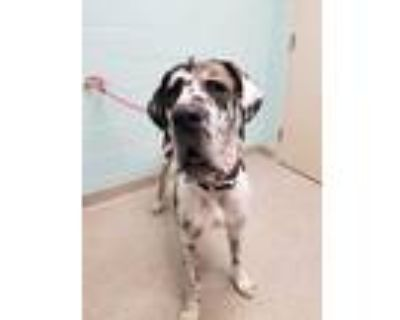 Adopt Hugo a Black Great Dane / Mixed dog in Noblesville, IN (32067137)
