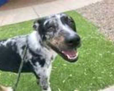 Adopt SPANKY a Black - with Gray or Silver Catahoula Leopard Dog / Mixed dog in