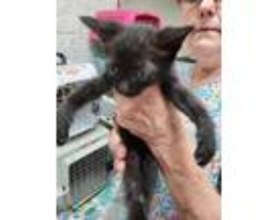 Adopt Bisquit +kitten+ a All Black Bombay / Domestic Shorthair / Mixed cat in