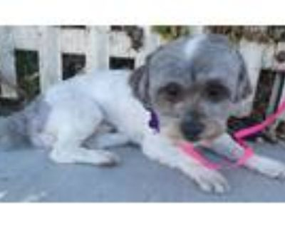 Adopt Alvin a Gray/Silver/Salt & Pepper - with White Shih Tzu / Mixed dog in Los
