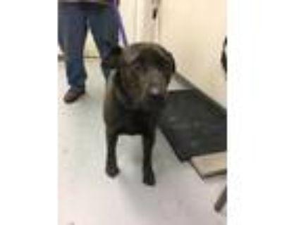 Adopt BEAR a Brown/Chocolate Labrador Retriever / Mastiff / Mixed dog in Los