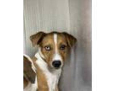Adopt 48318457 a Red/Golden/Orange/Chestnut Retriever (Unknown Type) / Mixed dog