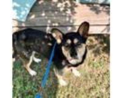 Adopt Geo a Black Australian Cattle Dog / Mixed dog in Merriam, KS (32063735)