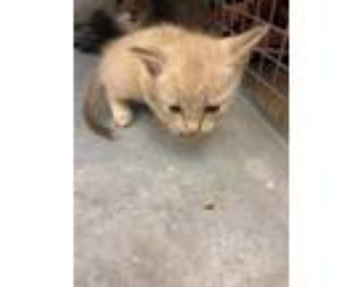 Adopt BAILEI a Brown or Chocolate (Mostly) Domestic Shorthair / Mixed (short