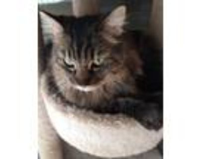 Adopt Thor a Spotted Tabby/Leopard Spotted Siberian (long coat) cat in Palmdale