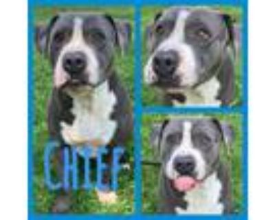 Adopt Chief a Pit Bull Terrier