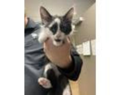 Adopt Gameboy* a All Black Domestic Shorthair / Domestic Shorthair / Mixed cat