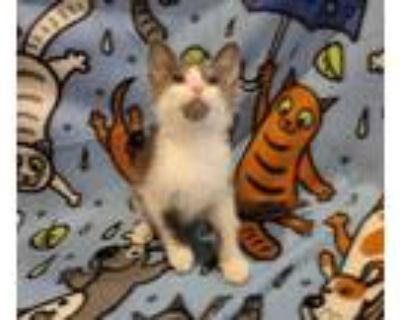 Adopt Lock a Domestic Shorthair / Mixed cat in Wheaton, IL (32053678)