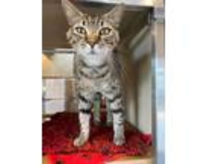 Adopt Gibby a Gray or Blue Domestic Shorthair (short coat) cat in Douglasville