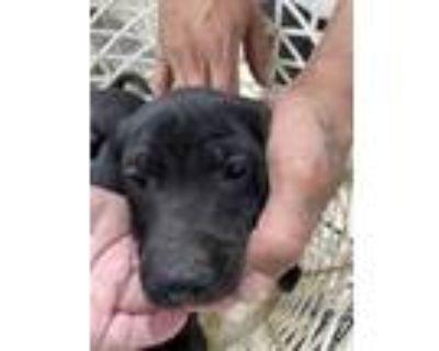 Adopt 48047397 a Black Labrador Retriever / Mixed dog in Fort Worth
