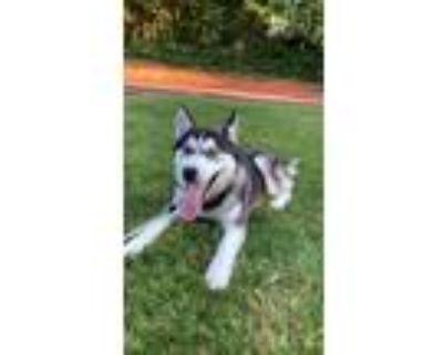 Adopt Cuda a Black - with White Husky / Mixed dog in Richland, WA (32068388)