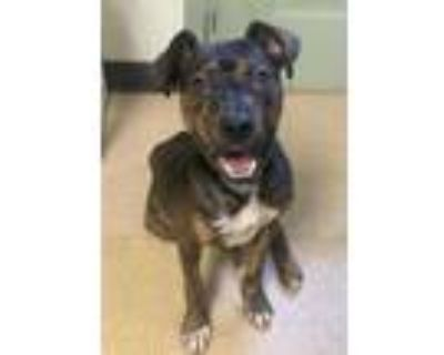 Adopt Lenny a Brown/Chocolate American Staffordshire Terrier / Mixed dog in