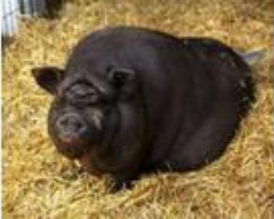 Adopt STRETCH a Pig