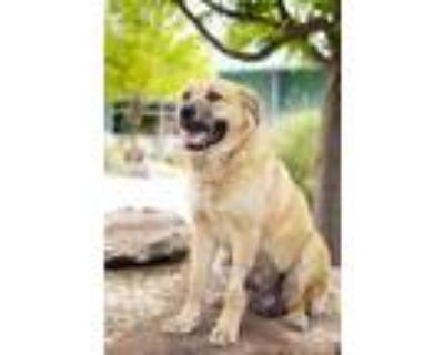 Adopt Pancake a Golden Retriever / Chow Chow / Mixed dog in Albuquerque