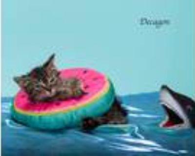 Adopt Decagon a Domestic Mediumhair / Mixed (short coat) cat in San Jacinto