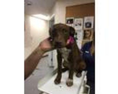 Adopt 48271143 a Brown/Chocolate Labrador Retriever / Mixed dog in Los Lunas
