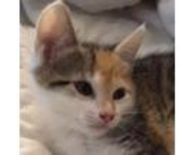 Adopt Tinsel (aka Bonnie) a Brown or Chocolate Domestic Shorthair / Mixed cat in