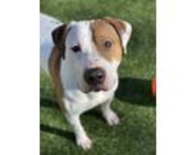 Adopt Baby Huey a White - with Tan, Yellow or Fawn American Pit Bull Terrier /