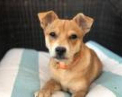 Adopt Catherine a Tan/Yellow/Fawn - with White Labrador Retriever dog in