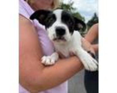 Adopt MAGIC'S PUPPIES: MARK a Collie / Terrier (Unknown Type